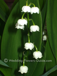 Lily of the vally flowers