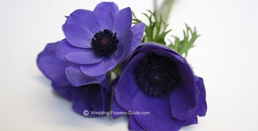 Our favourite blue wedding flowers close up of anemones one of the popular blue wedding flowers junglespirit Images