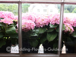 Hydrangea flower plants prior to being used at a wedding