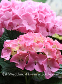 Close up of pink Hydrangea flowers